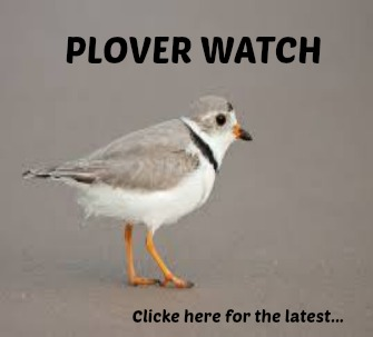 Piping Plover Watch